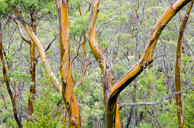 Alpine Yellow Gum in the Rain