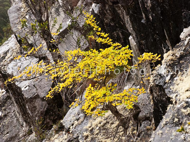 Autumn colour of Nothofagus gunnii