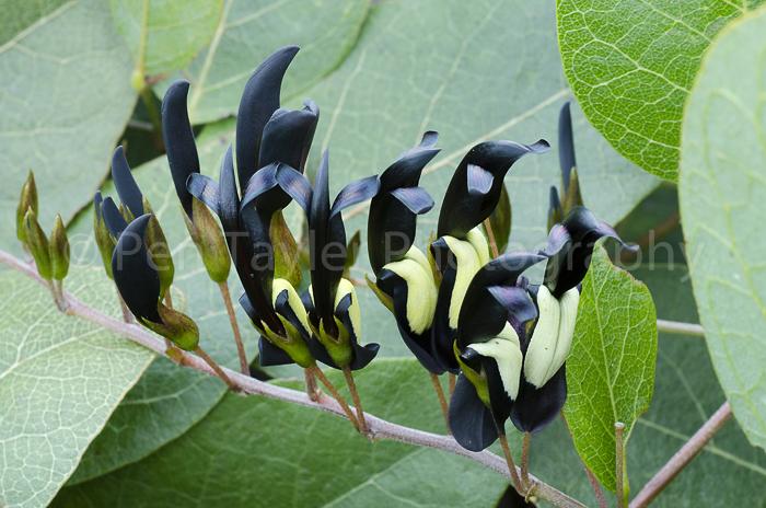 Kennedia nigricans