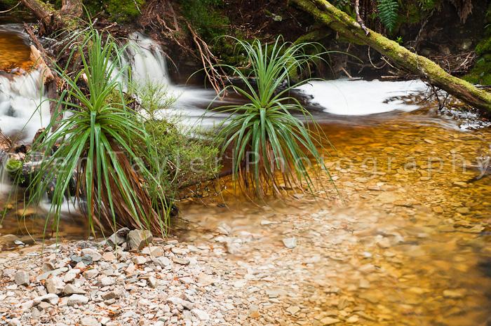 Pandani in creek bed